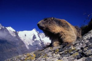 Time to come out yet? Marmots are emerging in numbers from now on in the French Alps